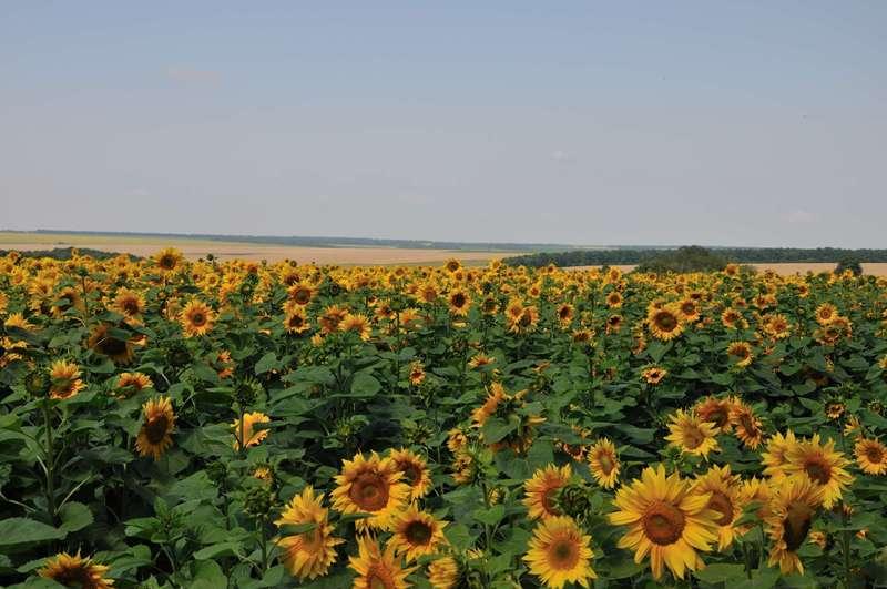 18.-sonnenblumen.jpg