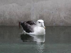 albatross_wellington_zoo_n2.jpg