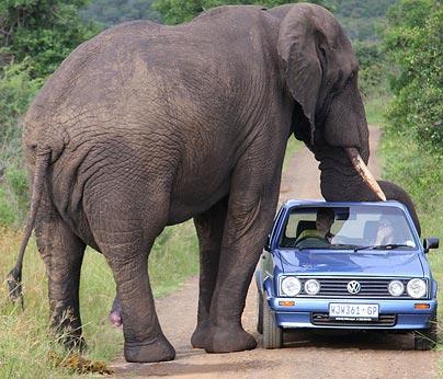 elephant-gs.jpg