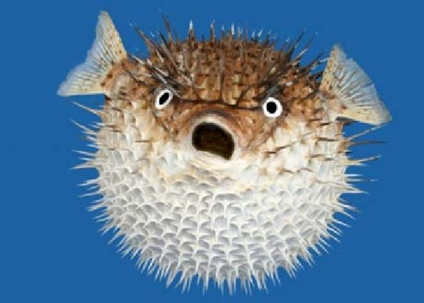 Klicke auf die Grafik für eine größere Ansicht  Name:Fugu.jpg Hits:828 Größe:211,4 KB ID:119779