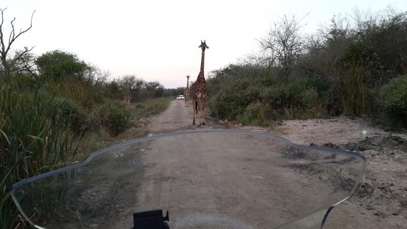 kuh-giraffe.jpg