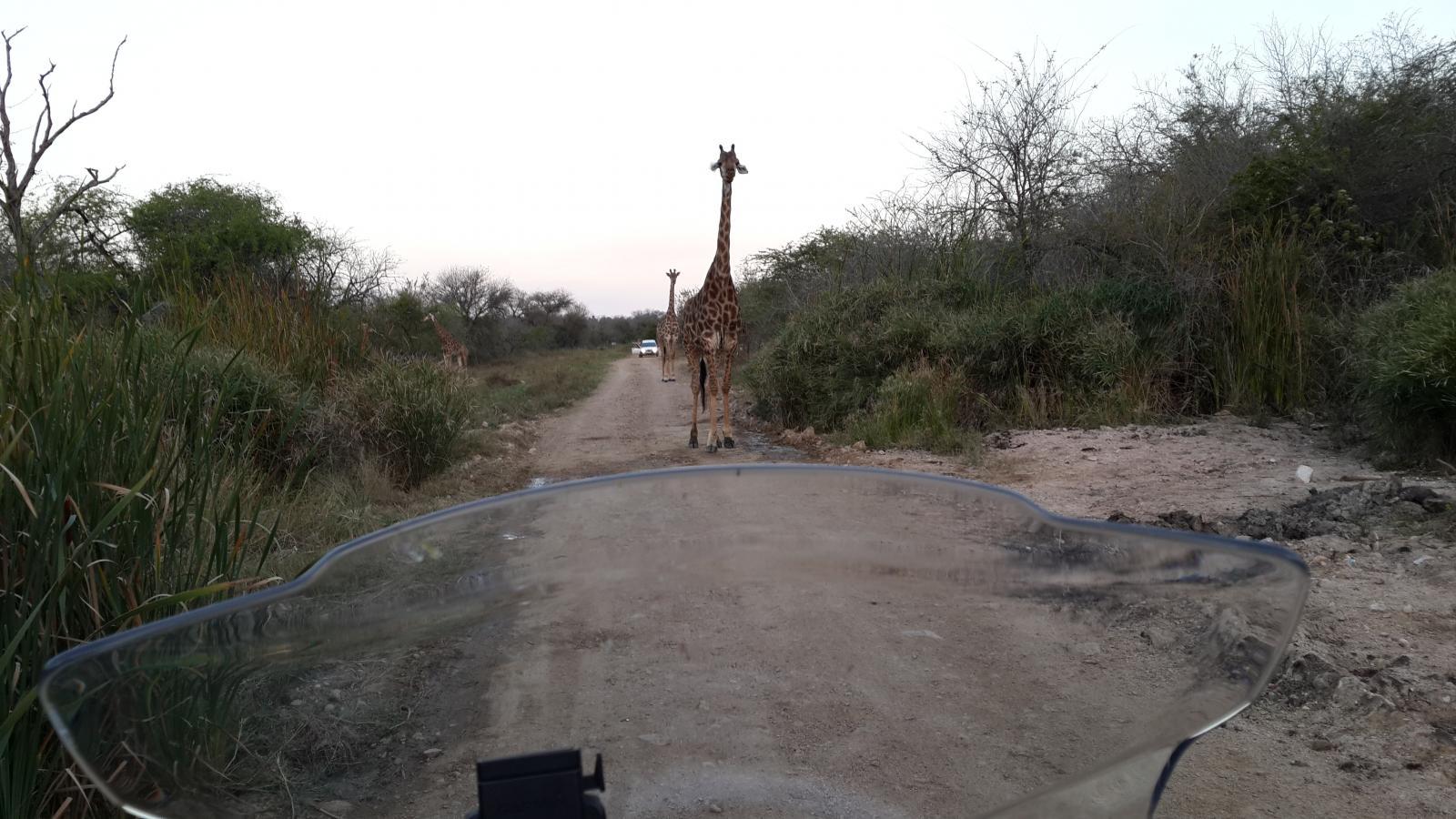 q-giraffe.jpg