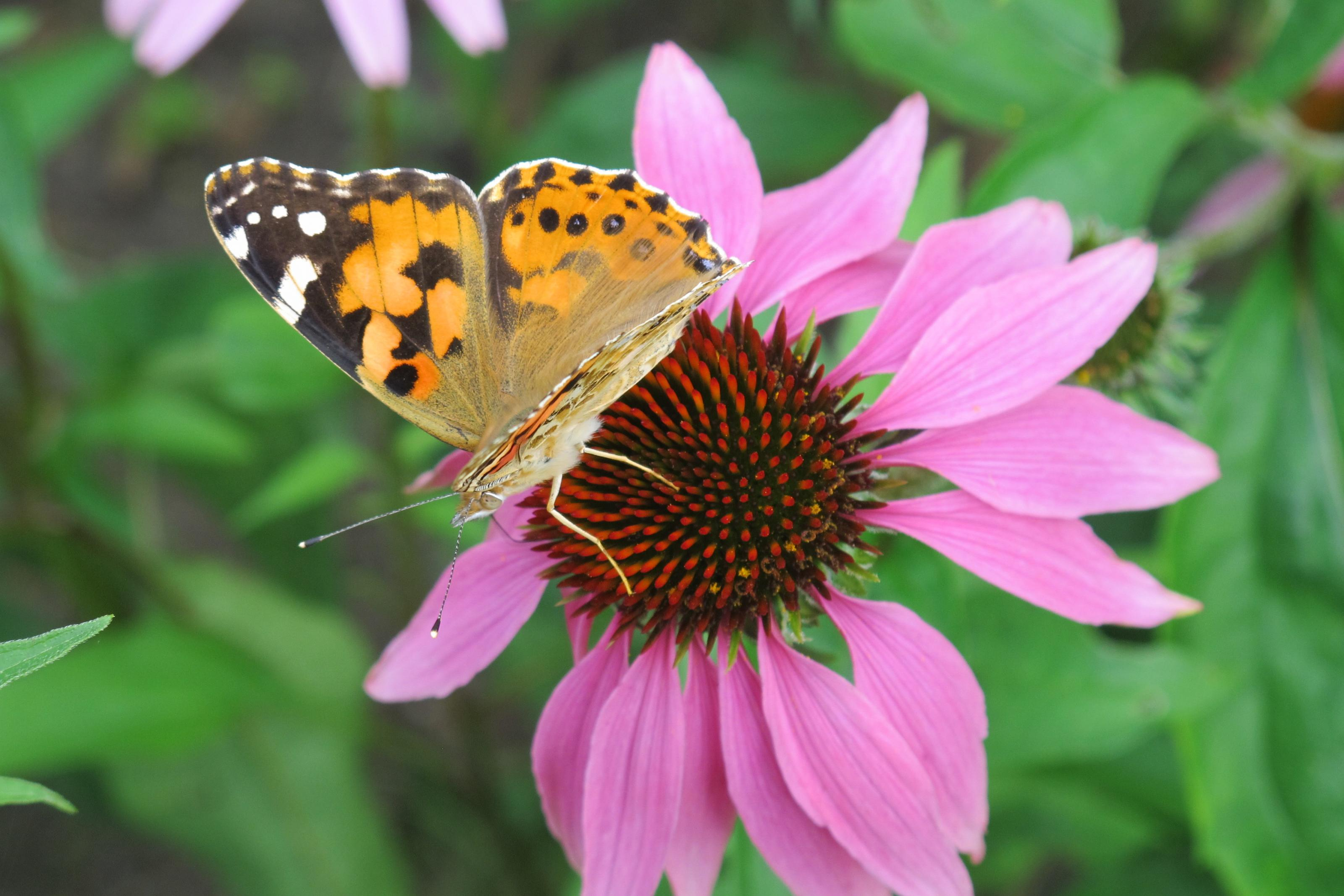 Klicke auf die Grafik für eine größere Ansicht  Name:Schmetterling 015.jpg Hits:441 Größe:478,9 KB ID:201473