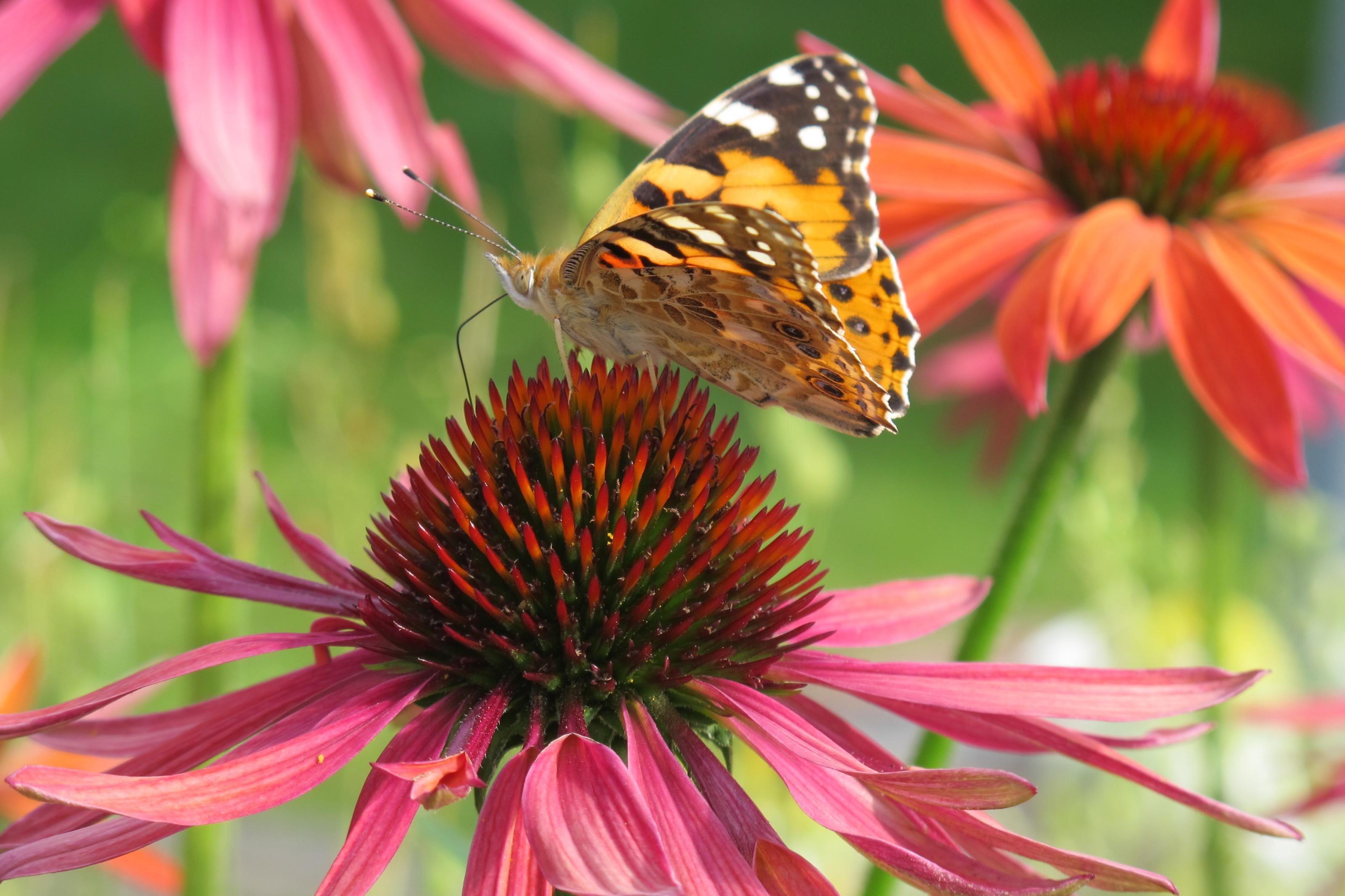 Klicke auf die Grafik für eine größere Ansicht  Name:Schmetterling 021.jpg Hits:442 Größe:476,8 KB ID:201472