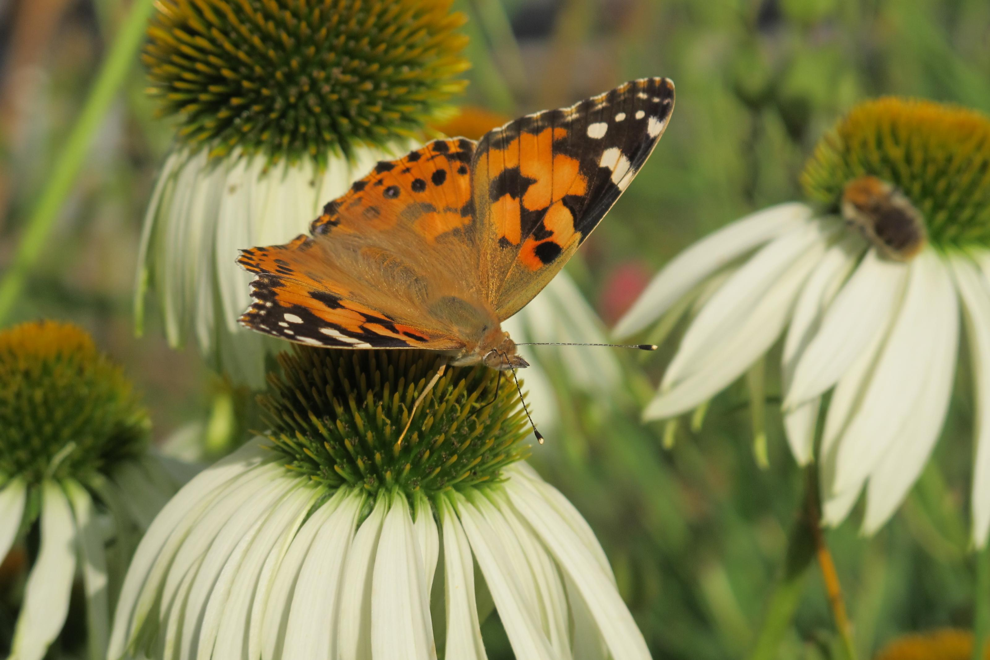 Klicke auf die Grafik für eine größere Ansicht  Name:Schmetterling 024.jpg Hits:410 Größe:429,0 KB ID:201474