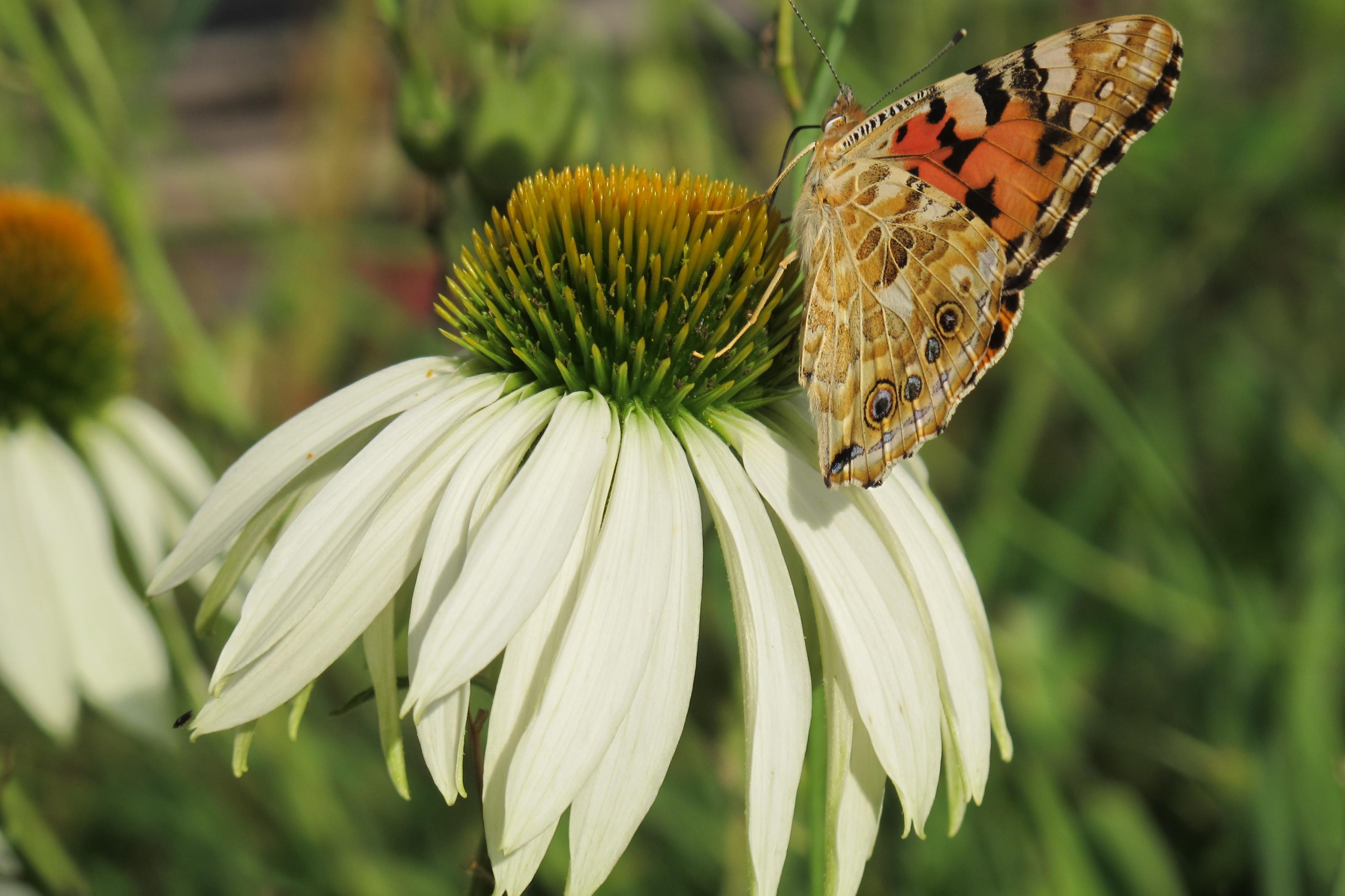 Klicke auf die Grafik für eine größere Ansicht  Name:Schmetterling 026.jpg Hits:436 Größe:451,7 KB ID:201475