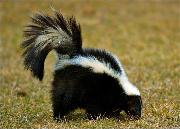 skunk-picture.jpg