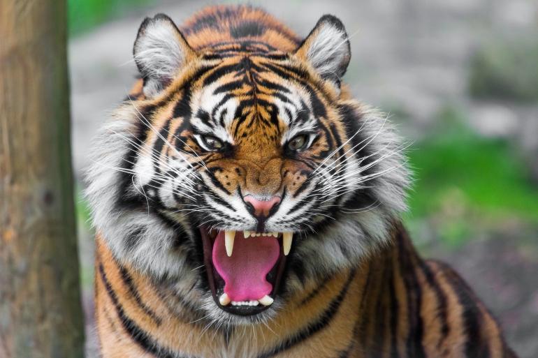 tiger-022_770x0.jpg
